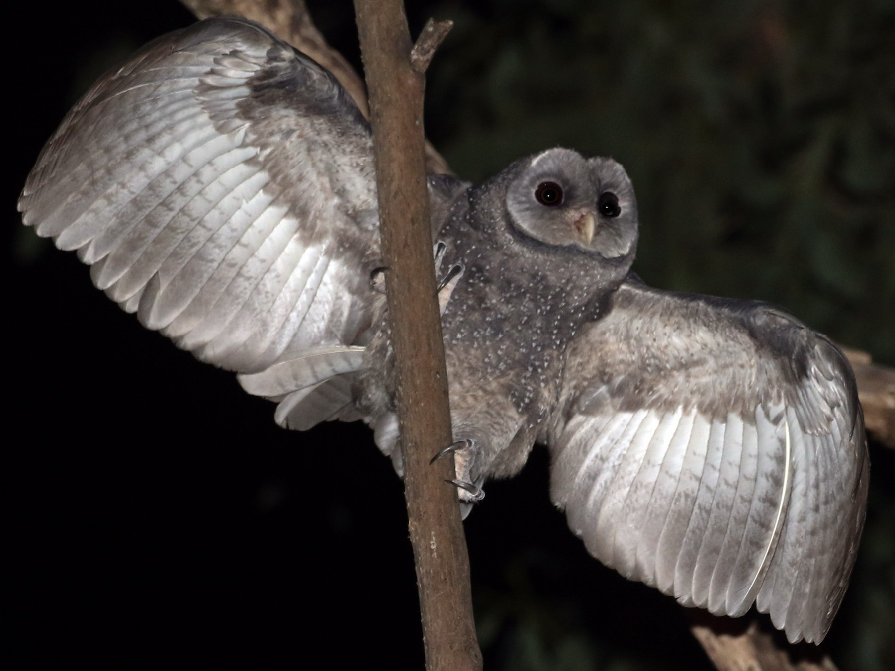 Sooty Owl - David Ongley