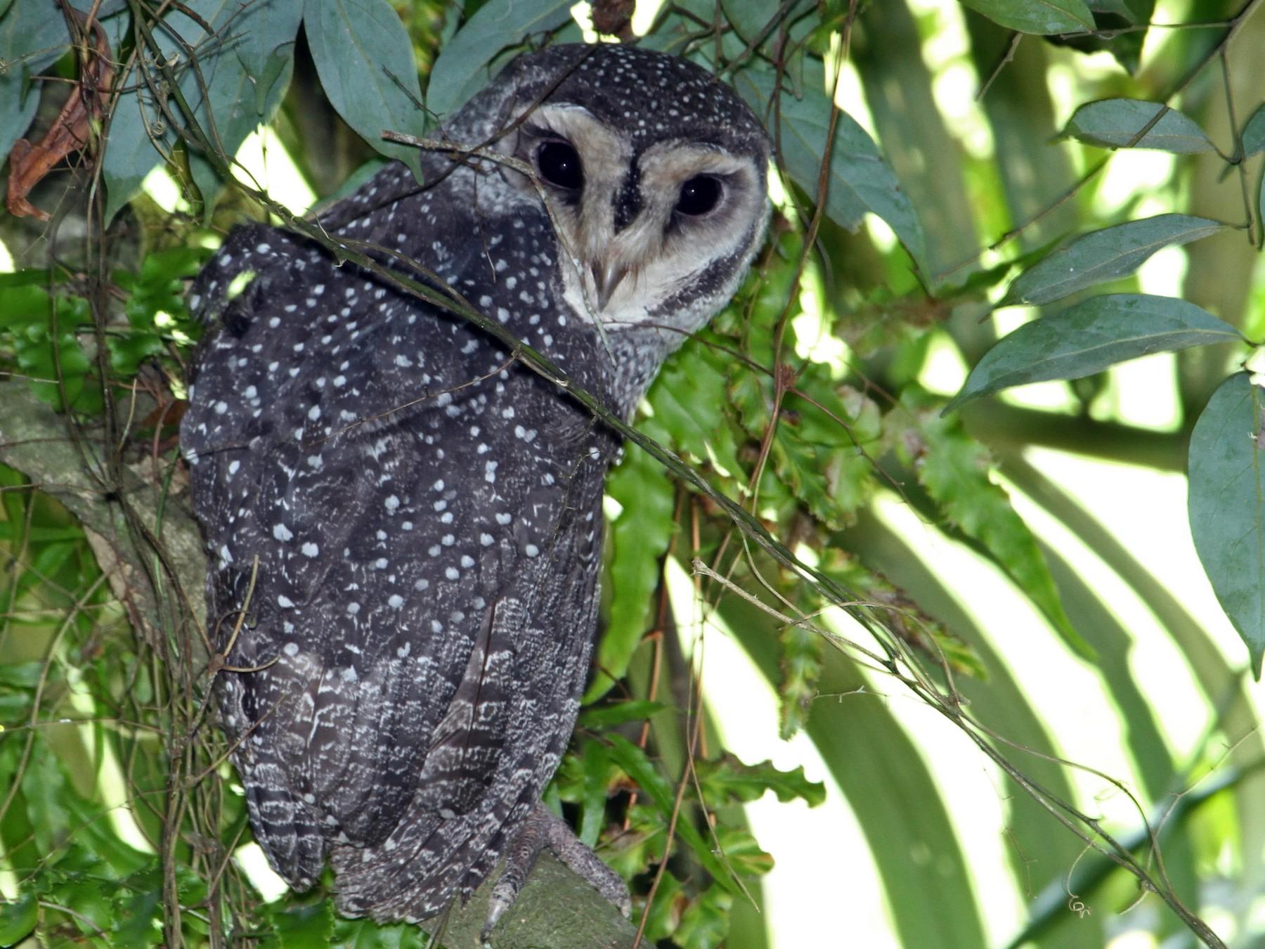 Sooty Owl - Julie Sarna
