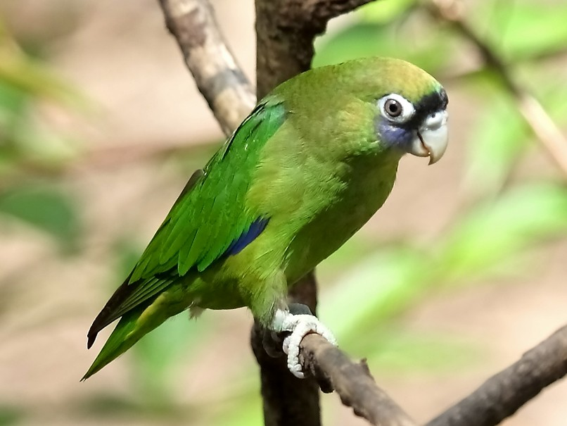 Scarlet-shouldered Parrotlet - Lorenzo Calcaño