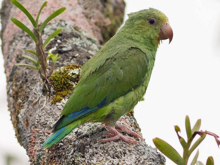 Cobalt-winged Parakeet - Darren Clark