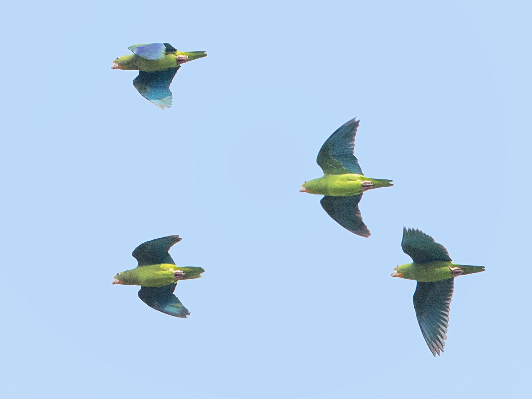 Cobalt-winged Parakeet - Bradley Hacker