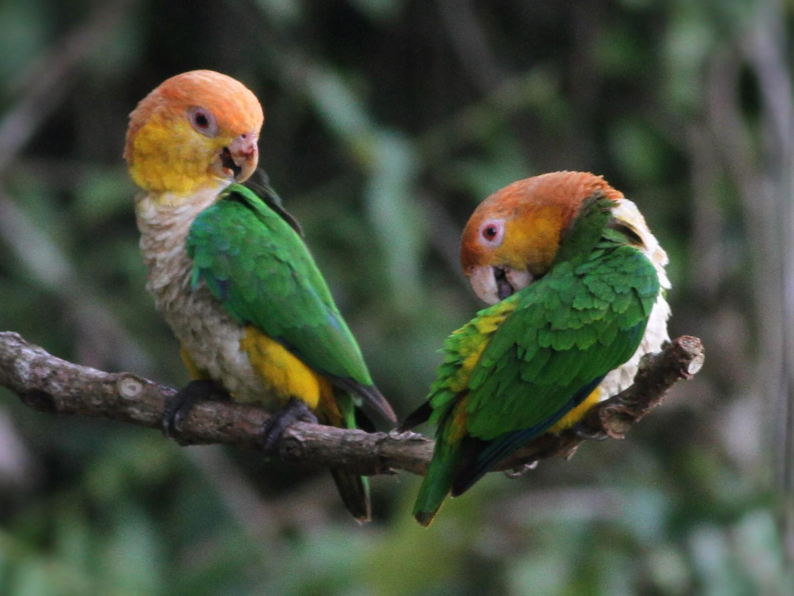 White-bellied Parrot - Jan Harm Wiers