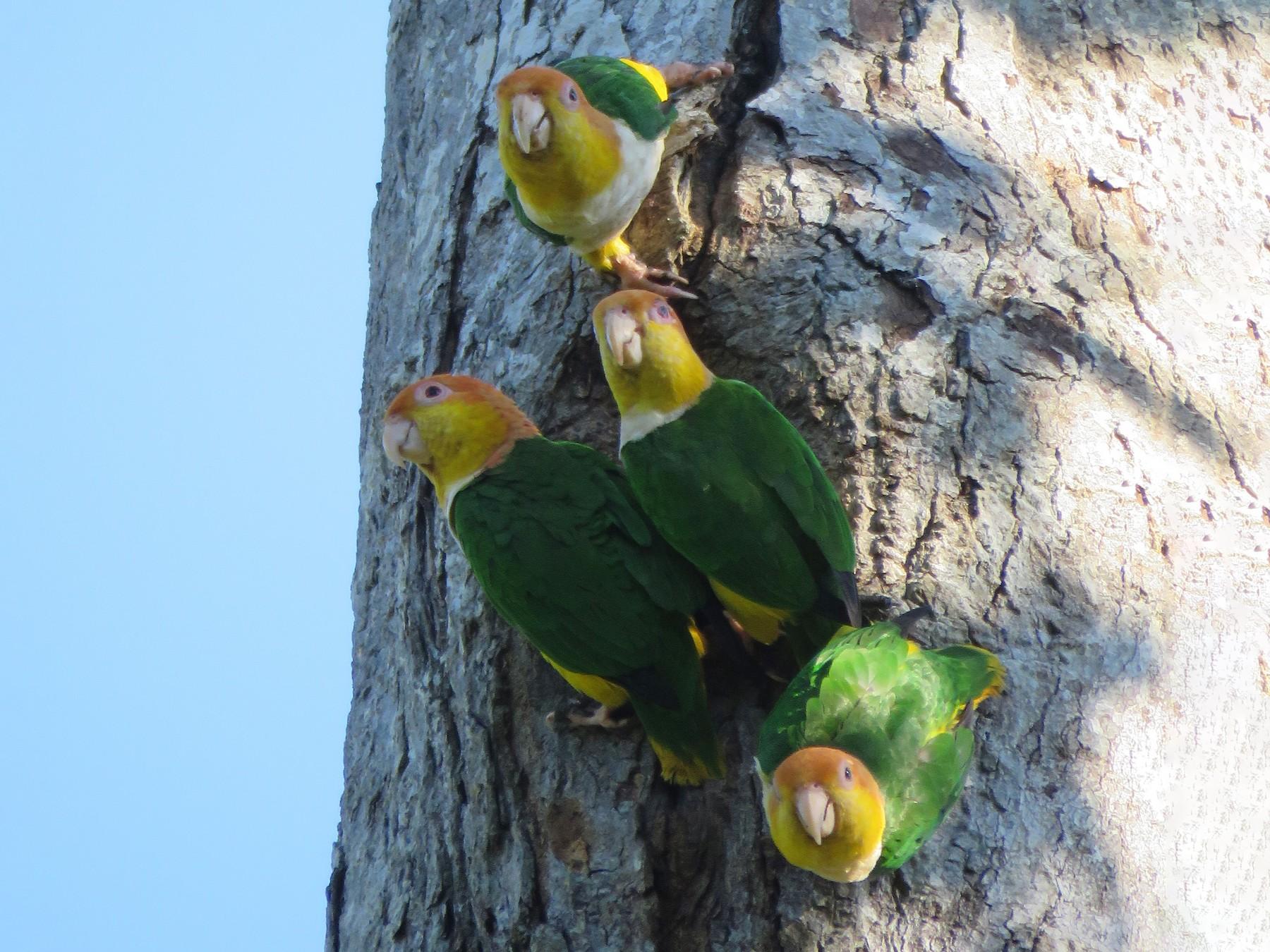 White-bellied Parrot - Vincent Vos