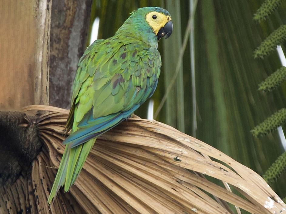 Red-bellied Macaw - Luiz Matos