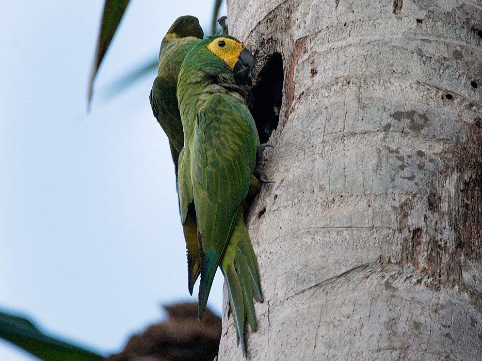 Red-bellied Macaw - LUCIANO BERNARDES