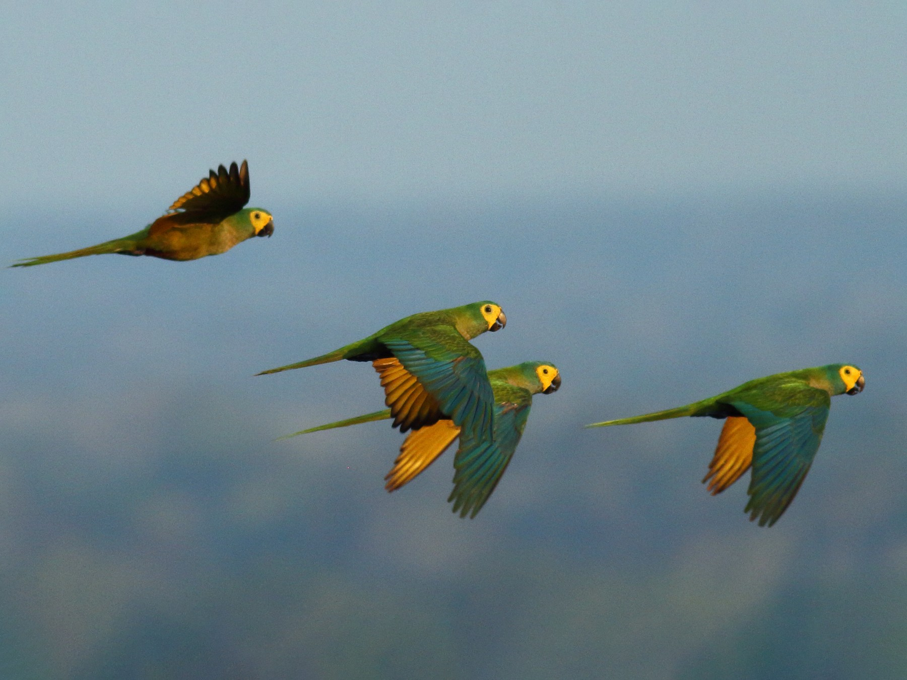 Red-bellied Macaw - Sean Williams