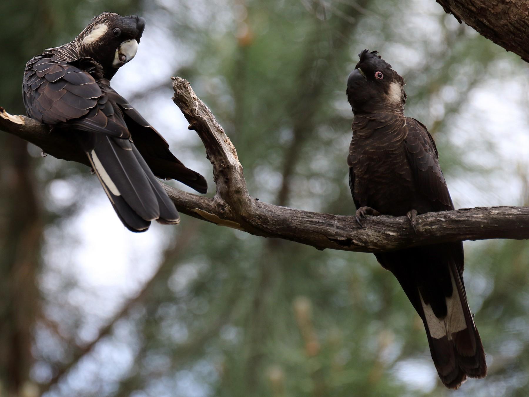 Carnaby's Black-Cockatoo - Chris Barnes