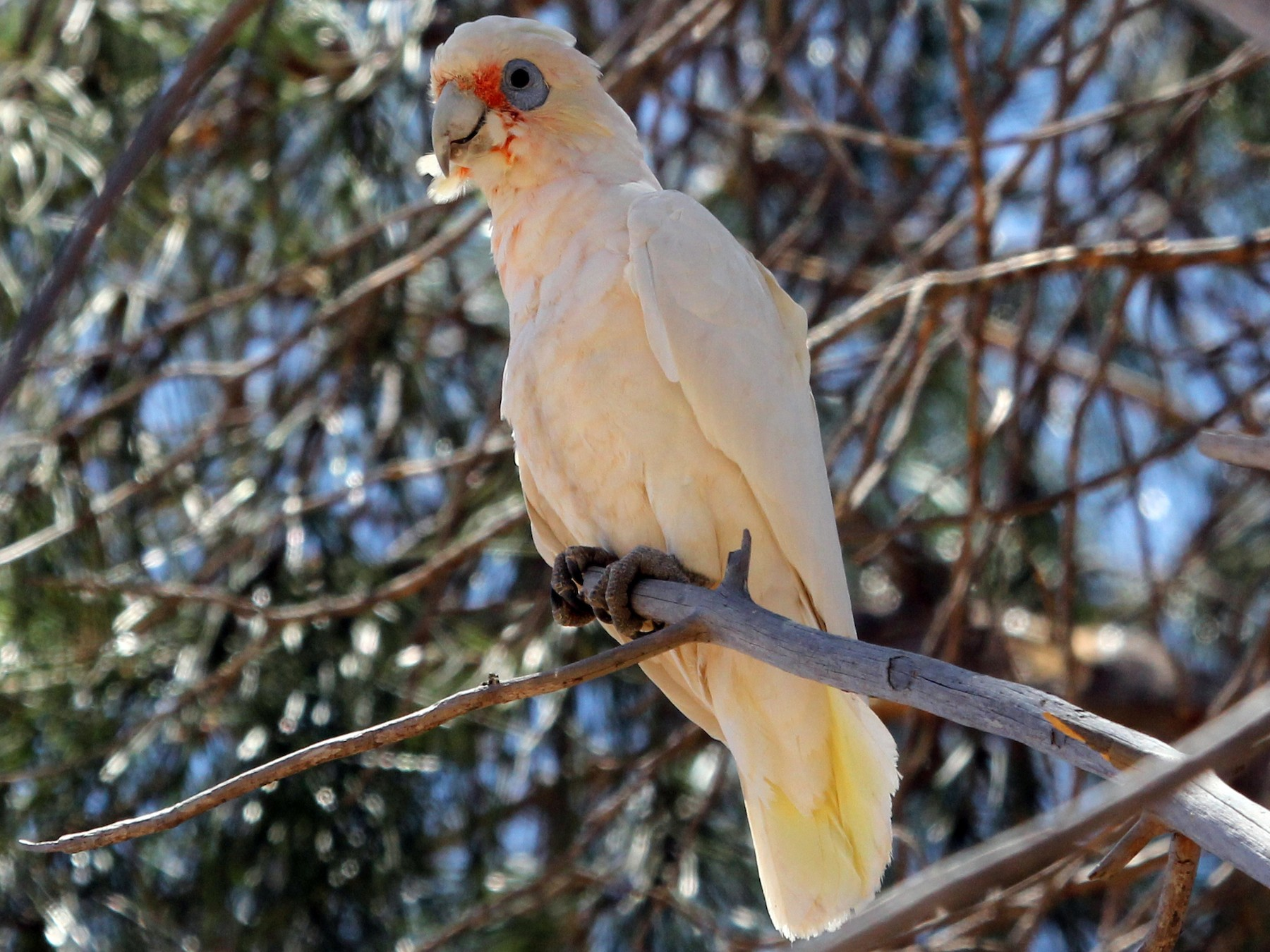Western Corella - Ray Turnbull