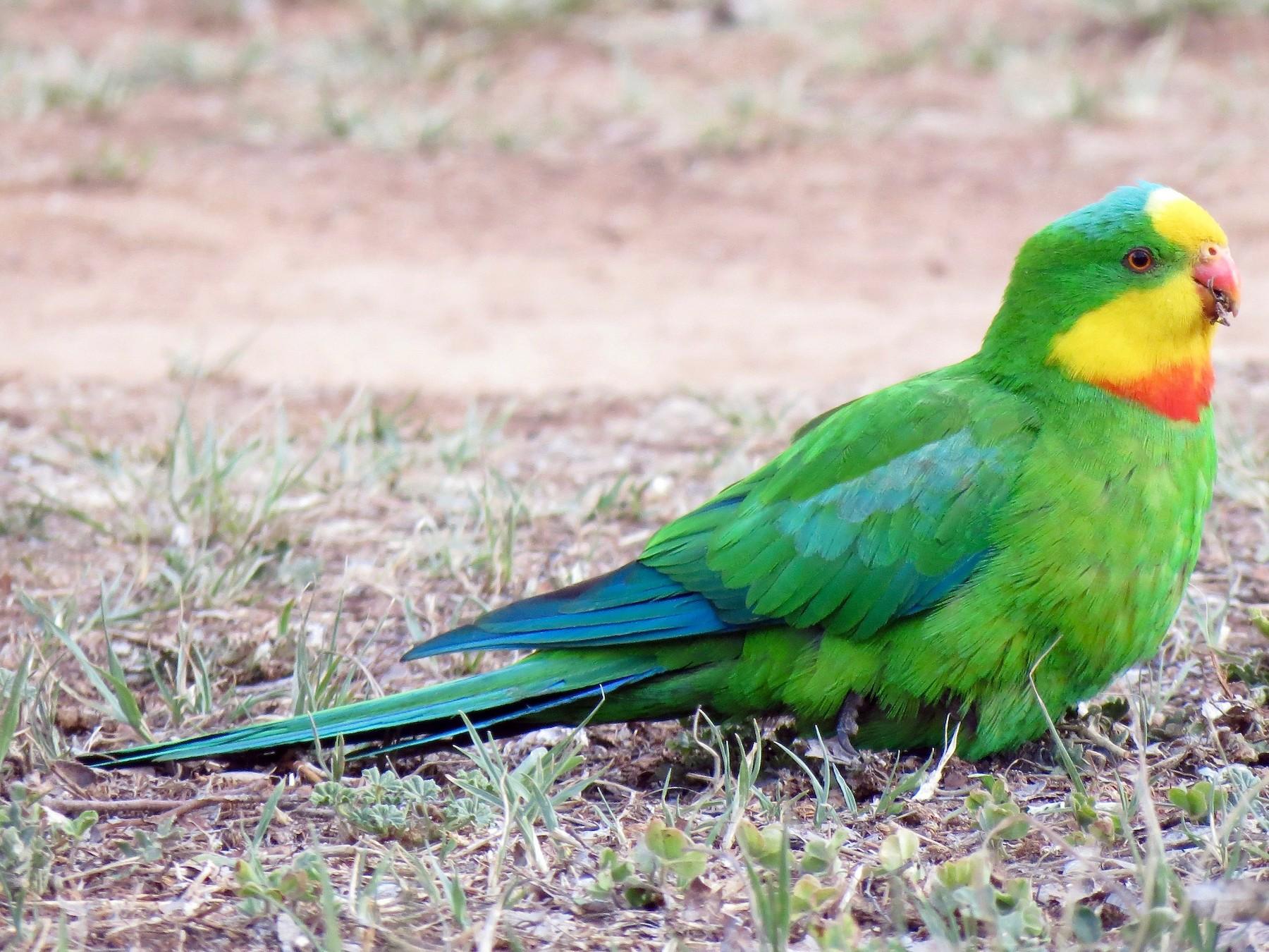 Superb Parrot - Elliot Leach