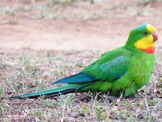 - Superb Parrot
