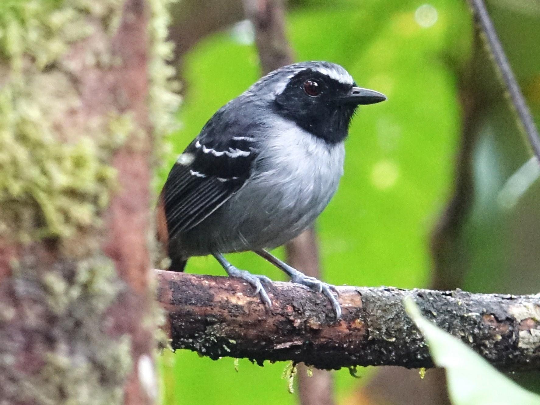 Black-faced Antbird - Ottavio Janni