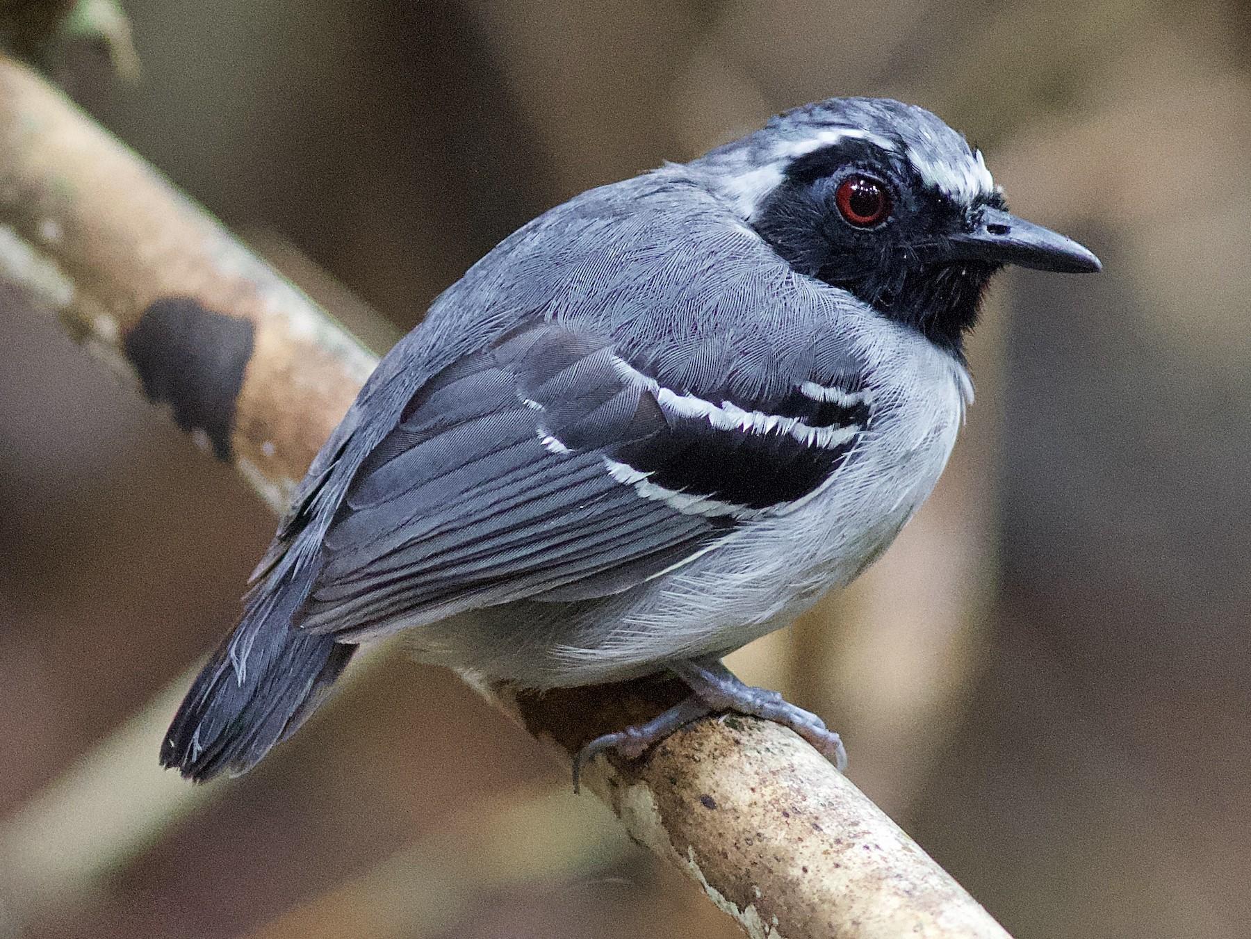 Black-faced Antbird - Luiz Matos