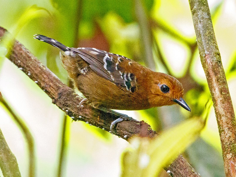 Common Scale-backed Antbird - Andy Walker - Birding Ecotours
