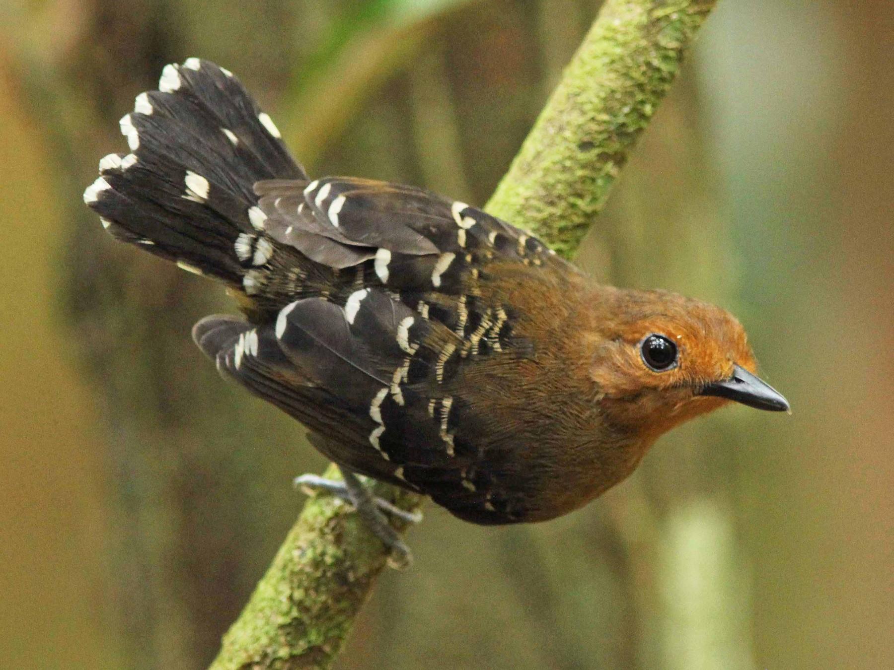 Common Scale-backed Antbird - David Beadle