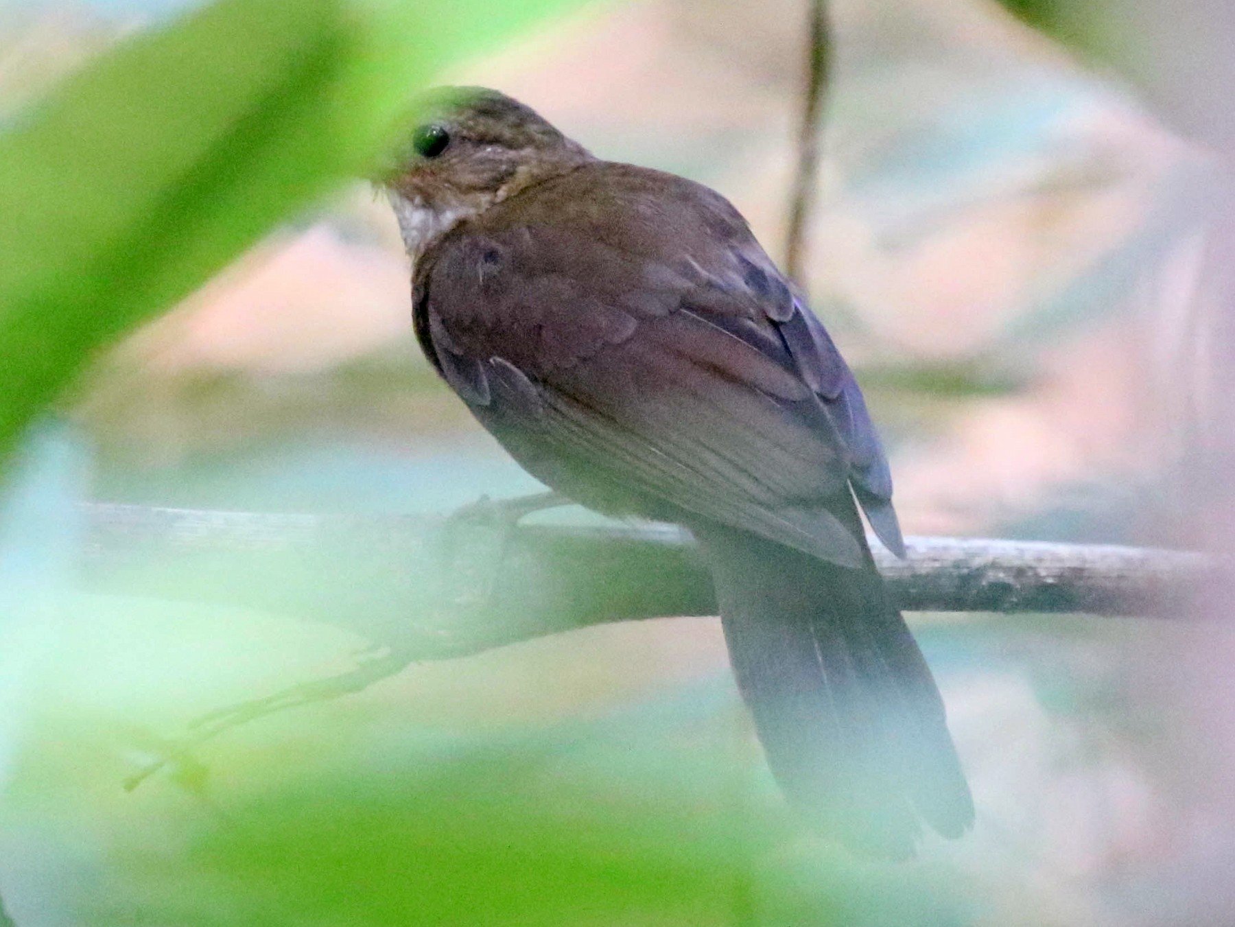 Black-tailed Leaftosser - Knut Hansen