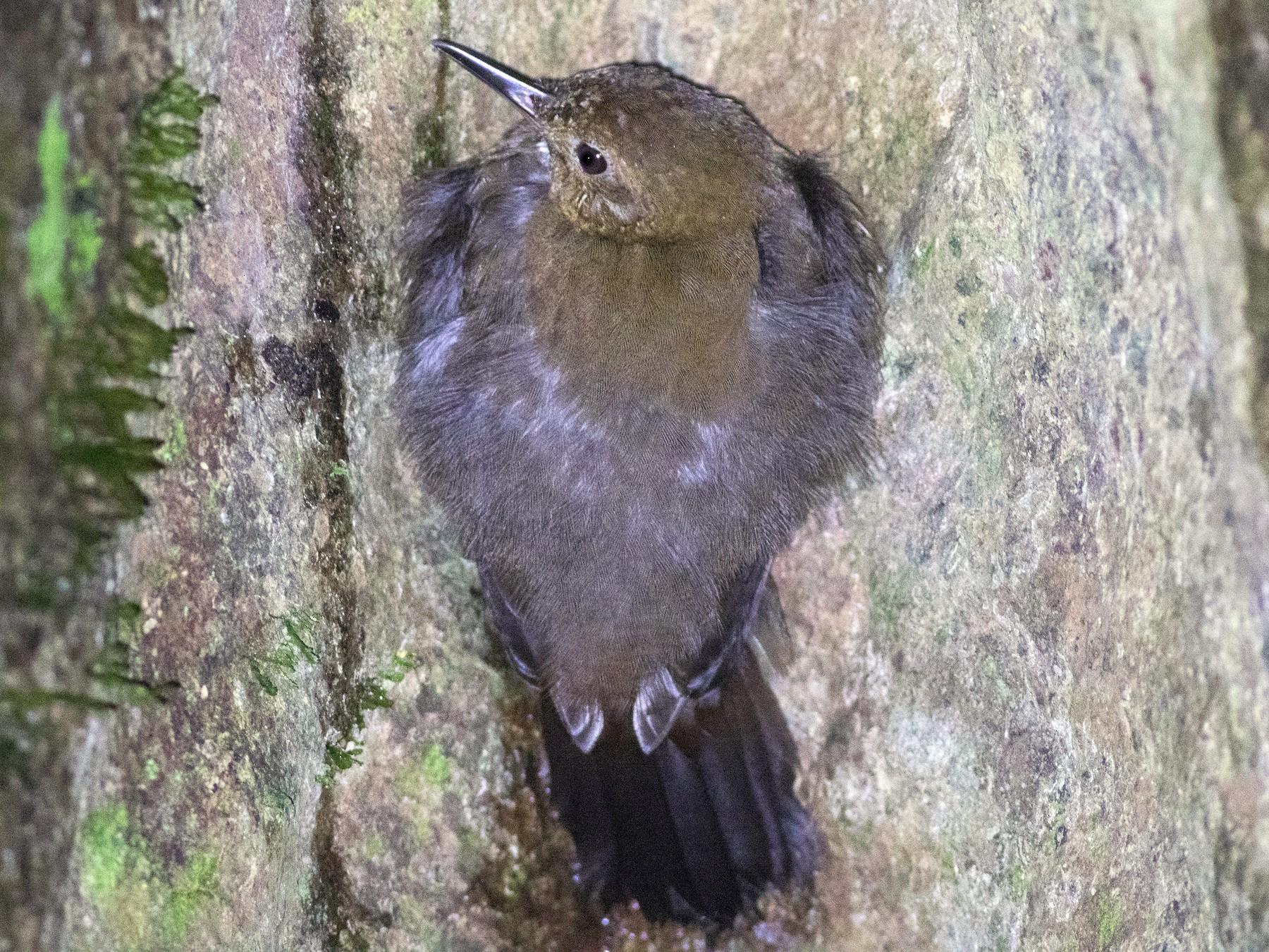 Black-tailed Leaftosser - Jack Rogers