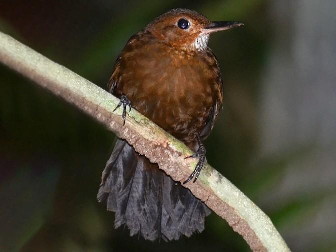 Black-tailed Leaftosser - Bruno Rennó