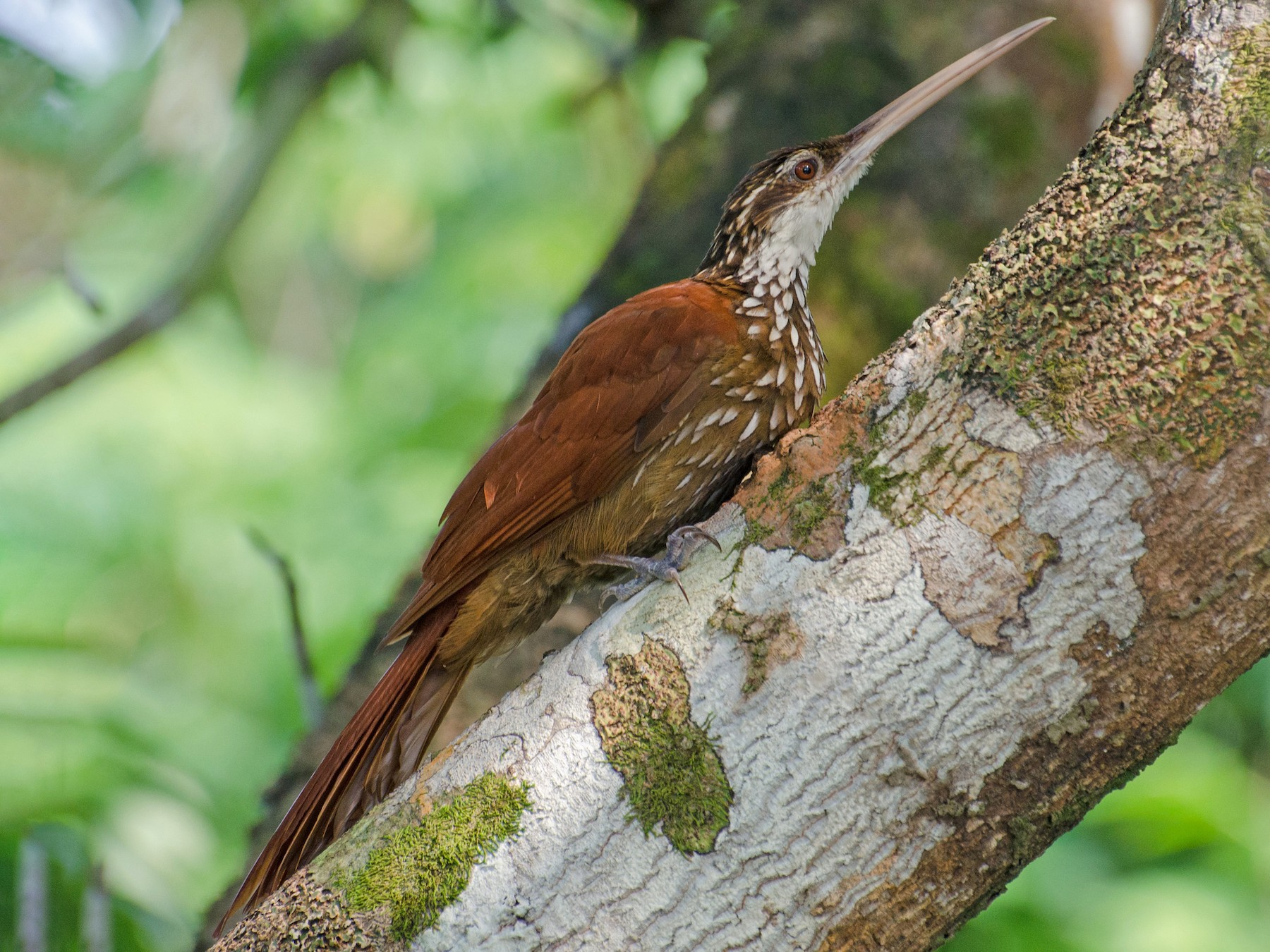 Long-billed Woodcreeper - Marcos  Eugênio Birding Guide