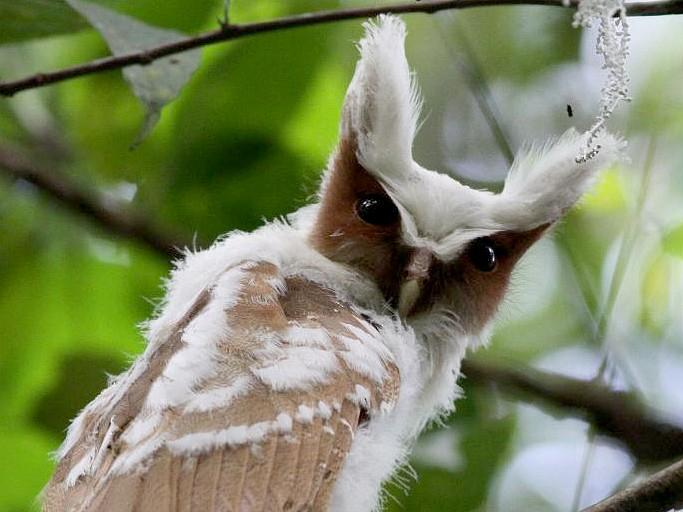 Crested Owl - Ian Davies