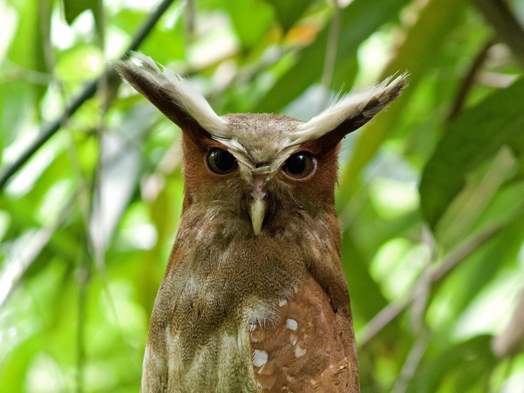 Crested Owl - Luiz Matos