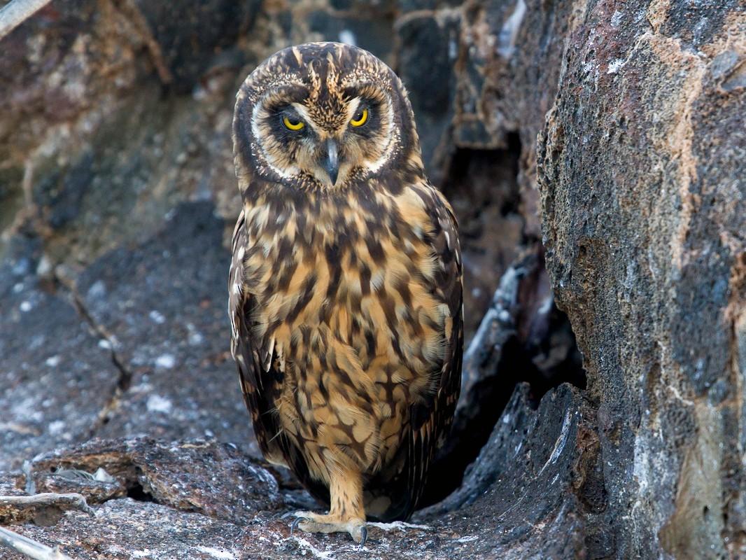 Short-eared Owl - Brad Dawson