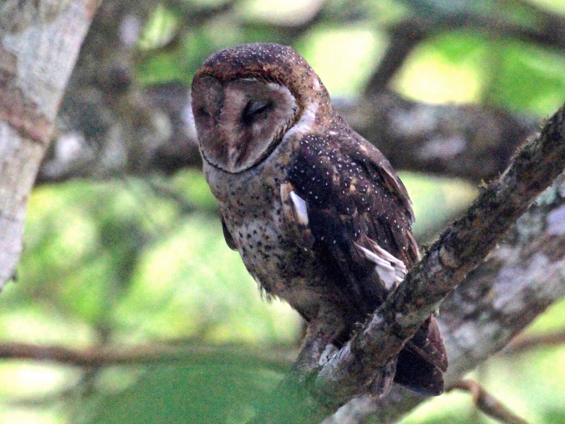 Barn Owl - Charles Davies