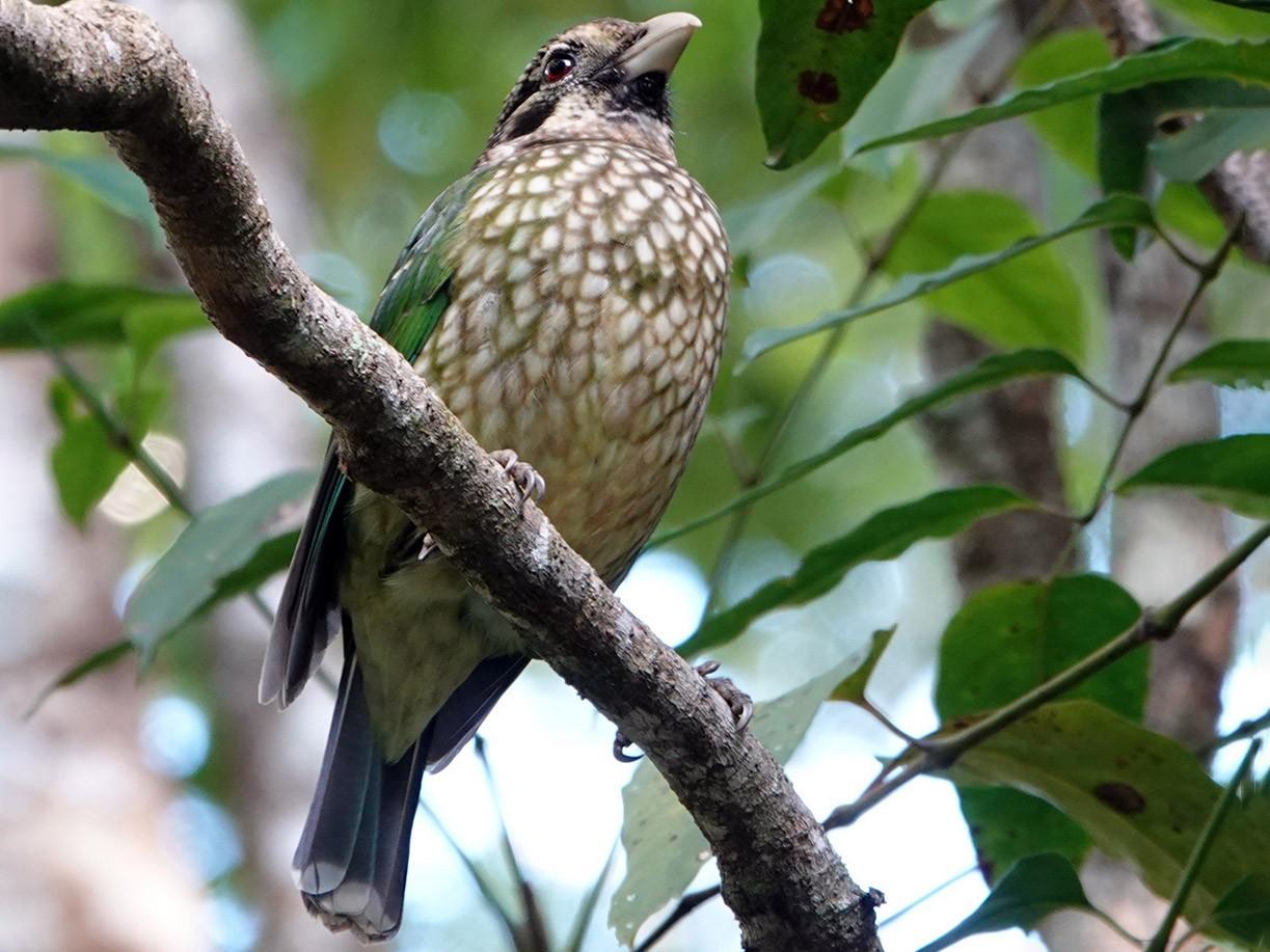 Spotted Catbird - Roksana and Terry