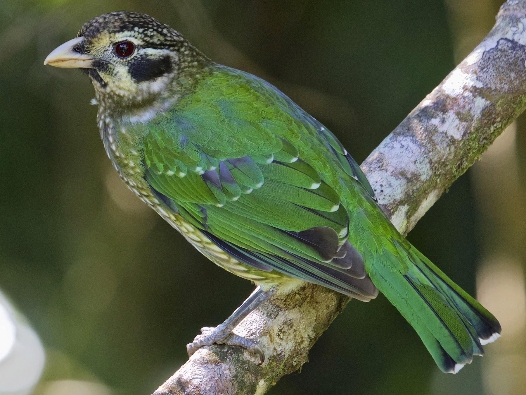 Spotted Catbird - Gary & Robyn Wilson