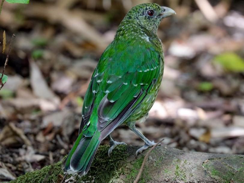 Green Catbird - Hickson Fergusson