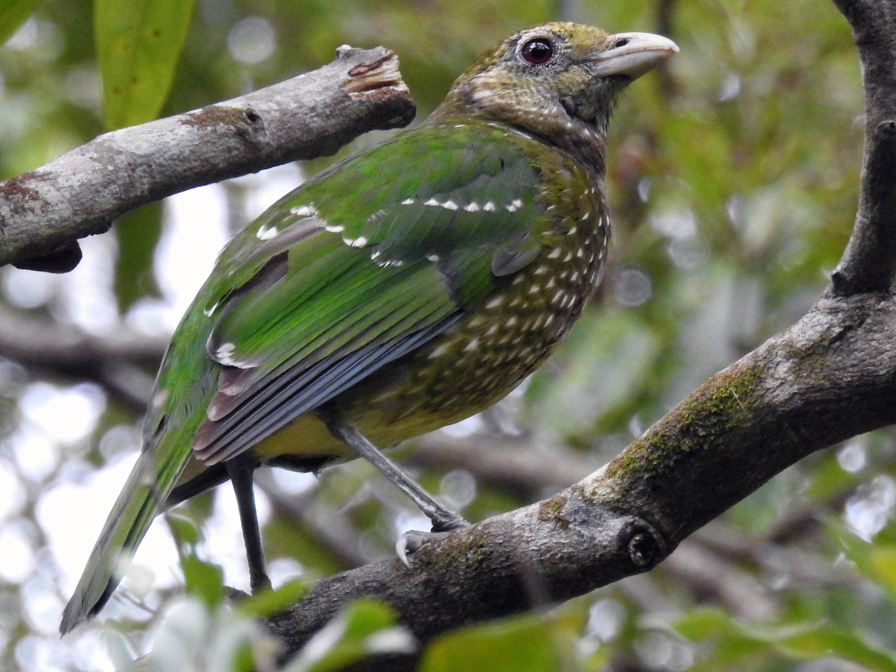 Green Catbird - Tobias Ley