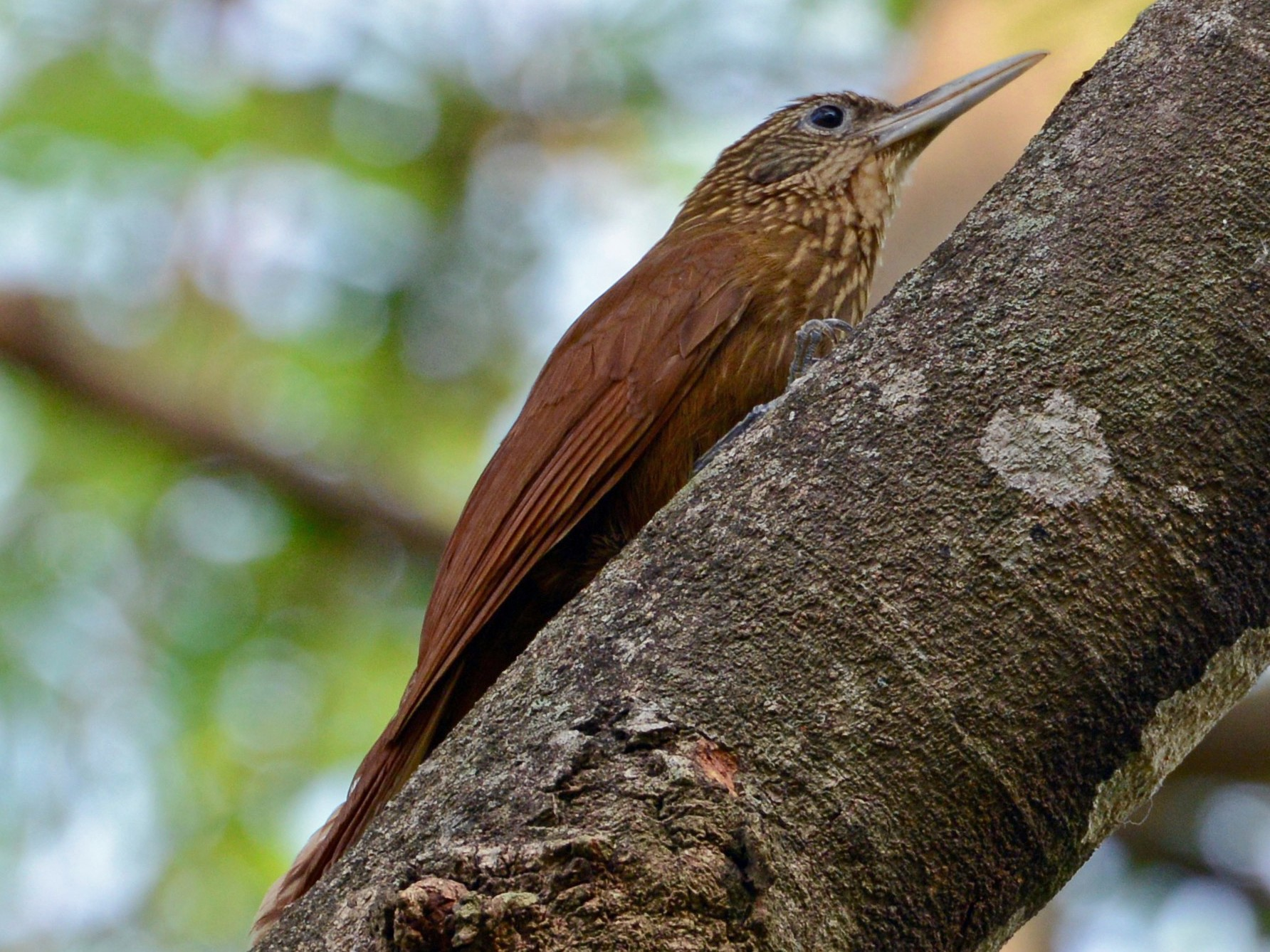Buff-throated Woodcreeper - Neil Wingert