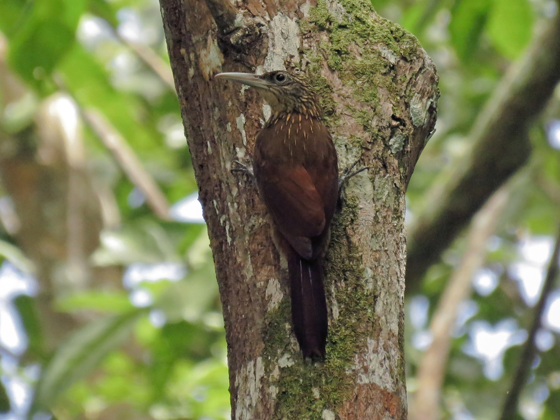 Buff-throated Woodcreeper - Arthur Gomes