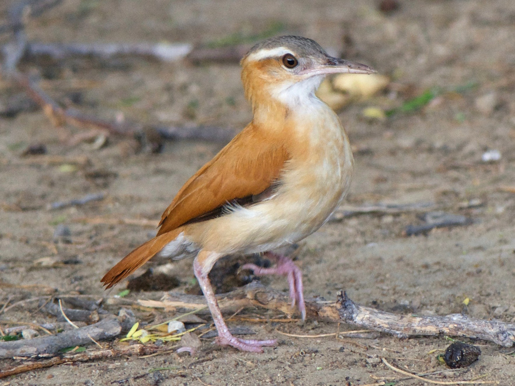Pale-legged Hornero - Cory Gregory