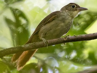 - Rufous-rumped Foliage-gleaner