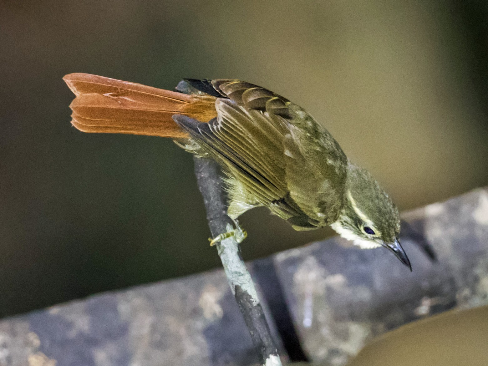 Rufous-rumped Foliage-gleaner - Nick Athanas