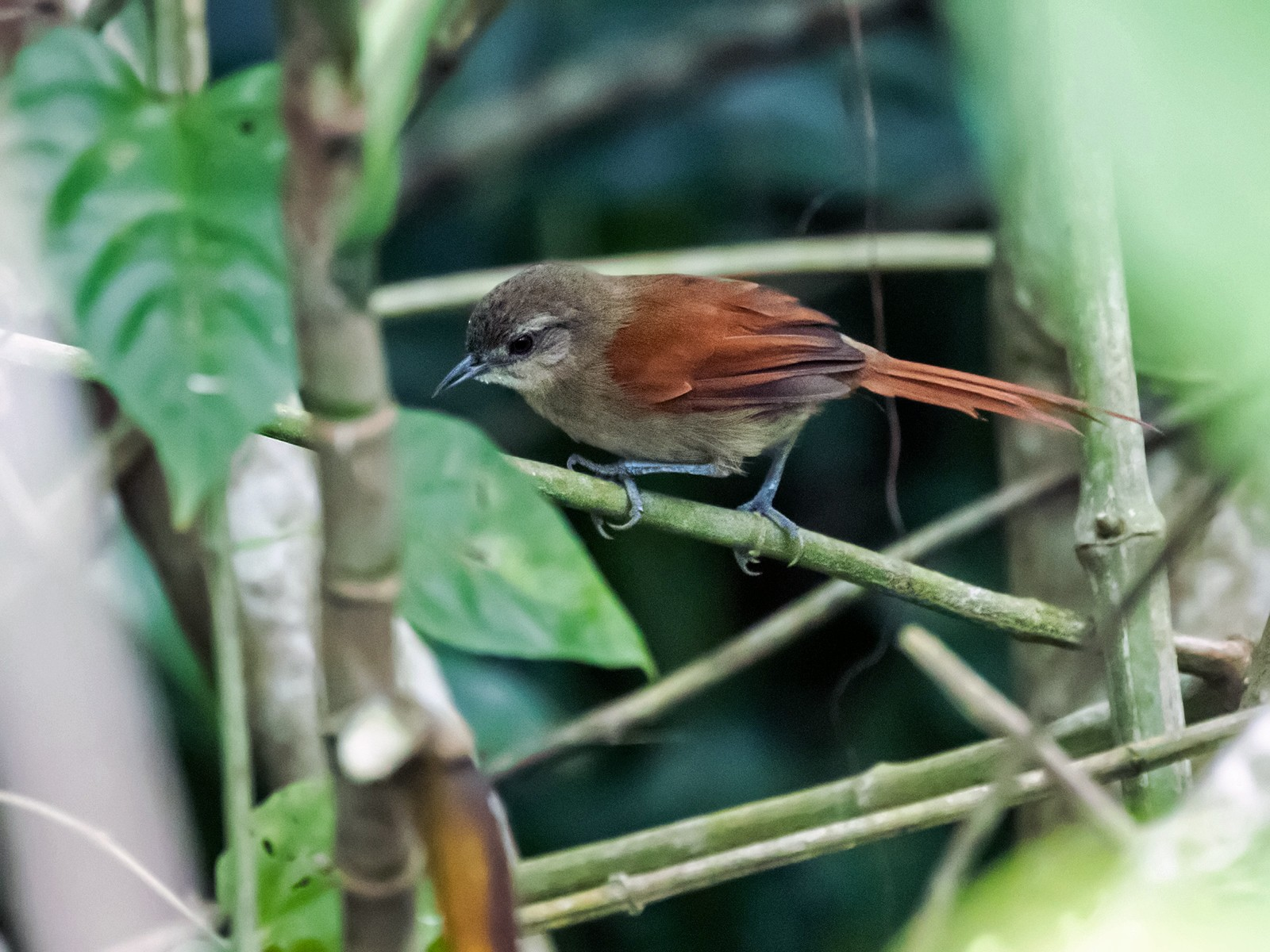 Plain-crowned Spinetail - Nick Athanas