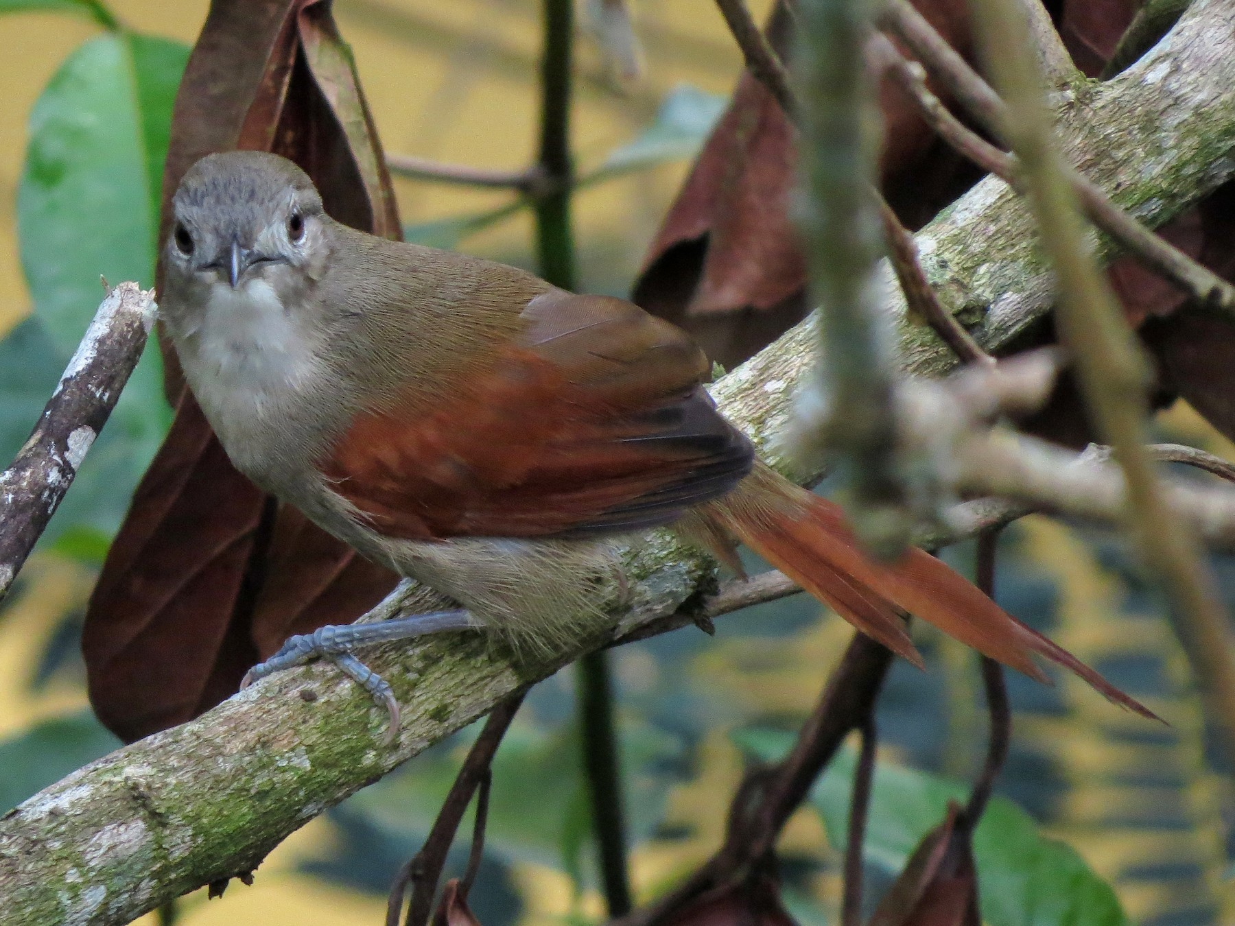 Plain-crowned Spinetail - Wilmer Andres Ramirez Riaño