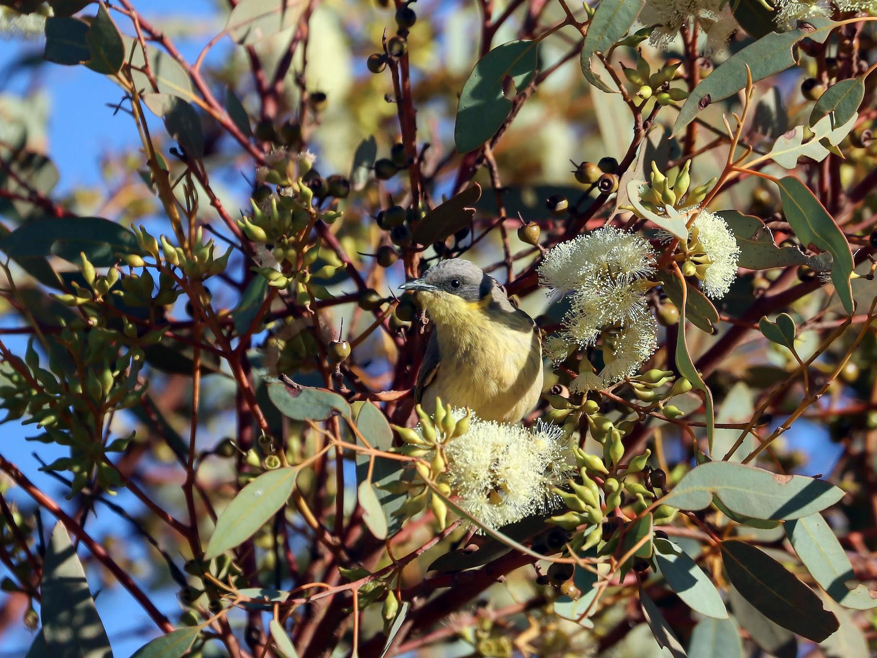 Gray-headed Honeyeater - Ged Tranter