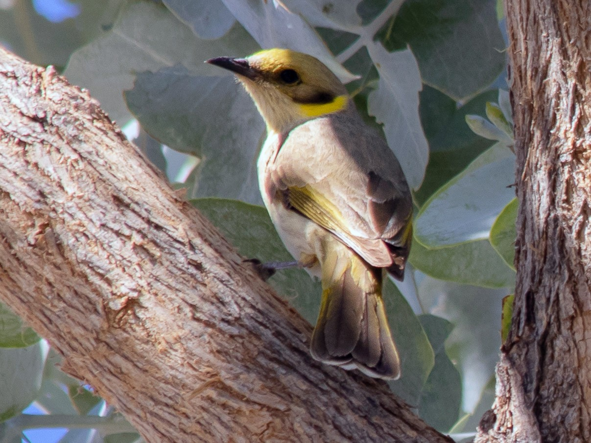 Gray-fronted Honeyeater - André  Zambolli