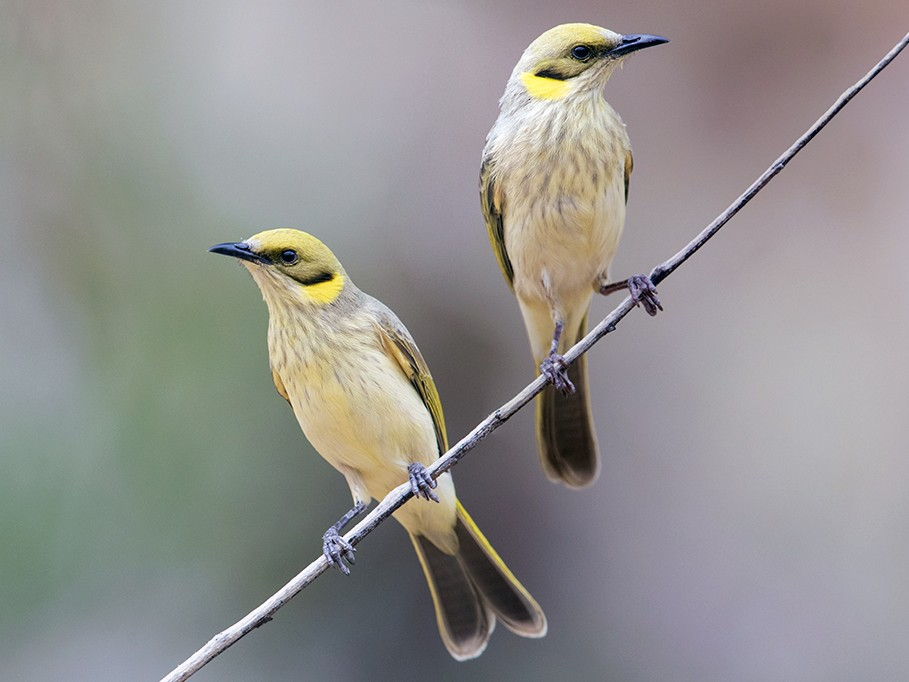Gray-fronted Honeyeater - Laurie Ross | Tracks Birding & Photography Tours