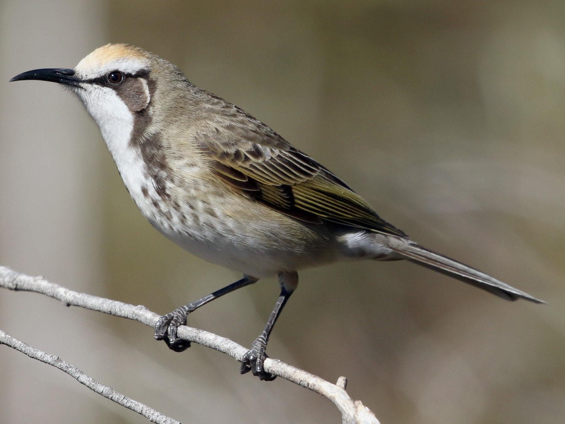 Tawny-crowned Honeyeater - David Ongley