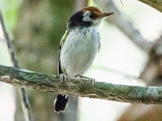 - White-cheeked Tody-Flycatcher
