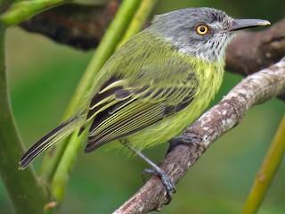 - Spotted Tody-Flycatcher