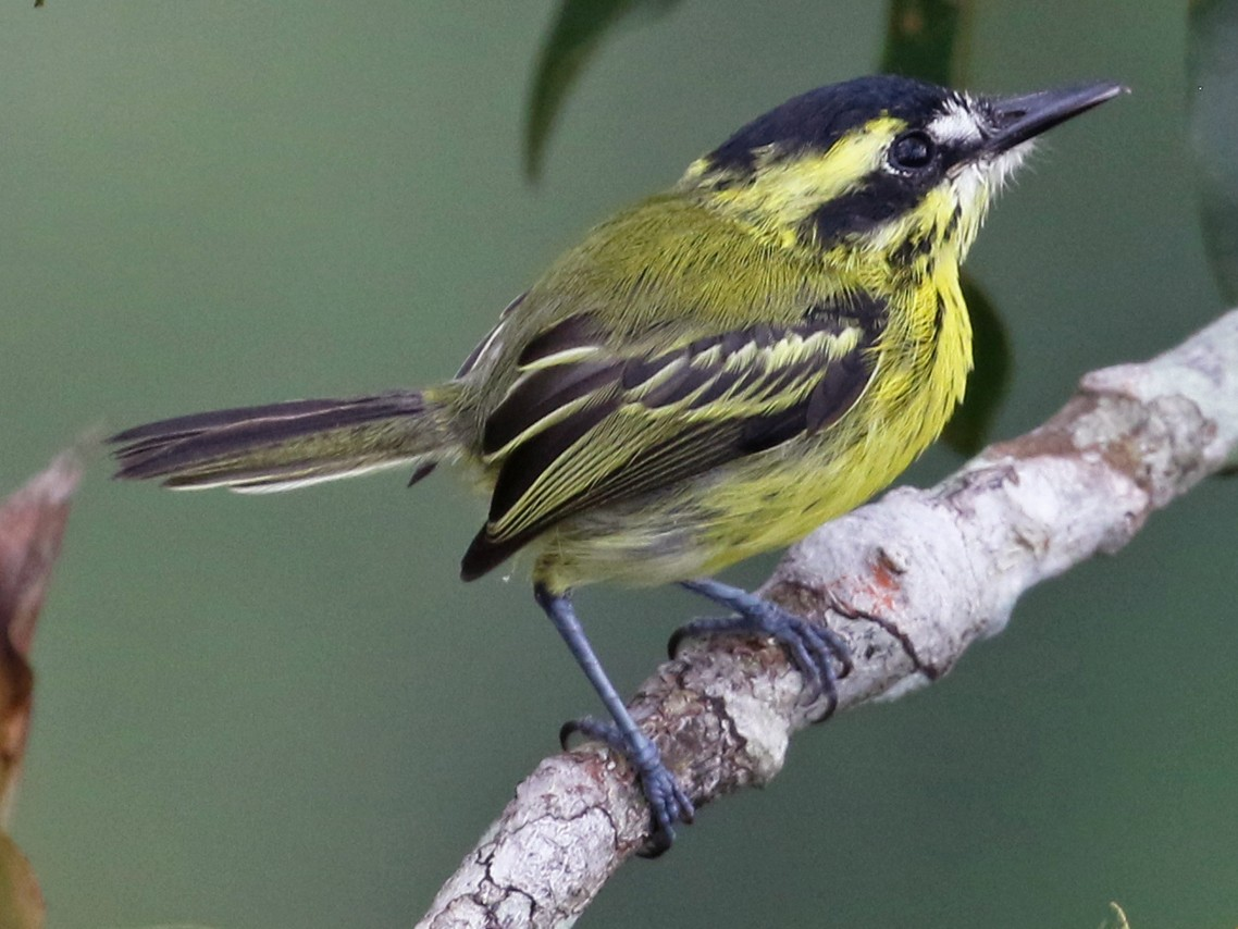 Yellow-browed Tody-Flycatcher - Dave Beeke