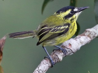 - Yellow-browed Tody-Flycatcher