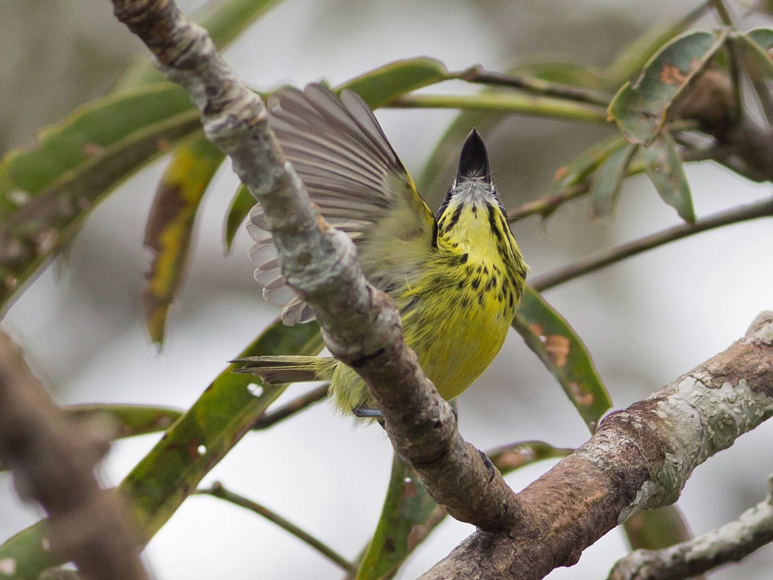 Yellow-browed Tody-Flycatcher - Darren Clark