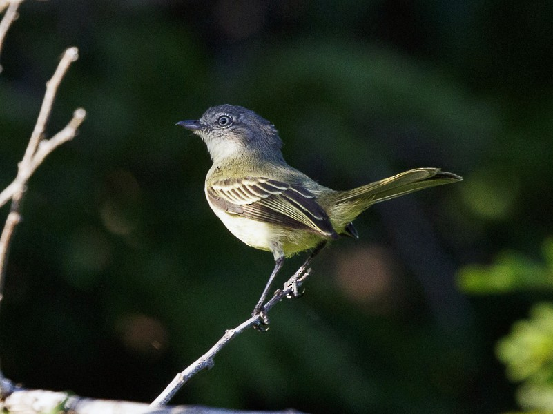Slender-footed Tyrannulet - Silvia Faustino Linhares