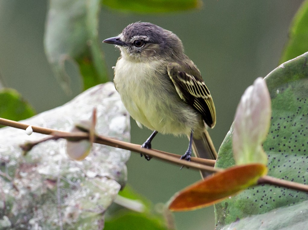 Slender-footed Tyrannulet - Nick Athanas