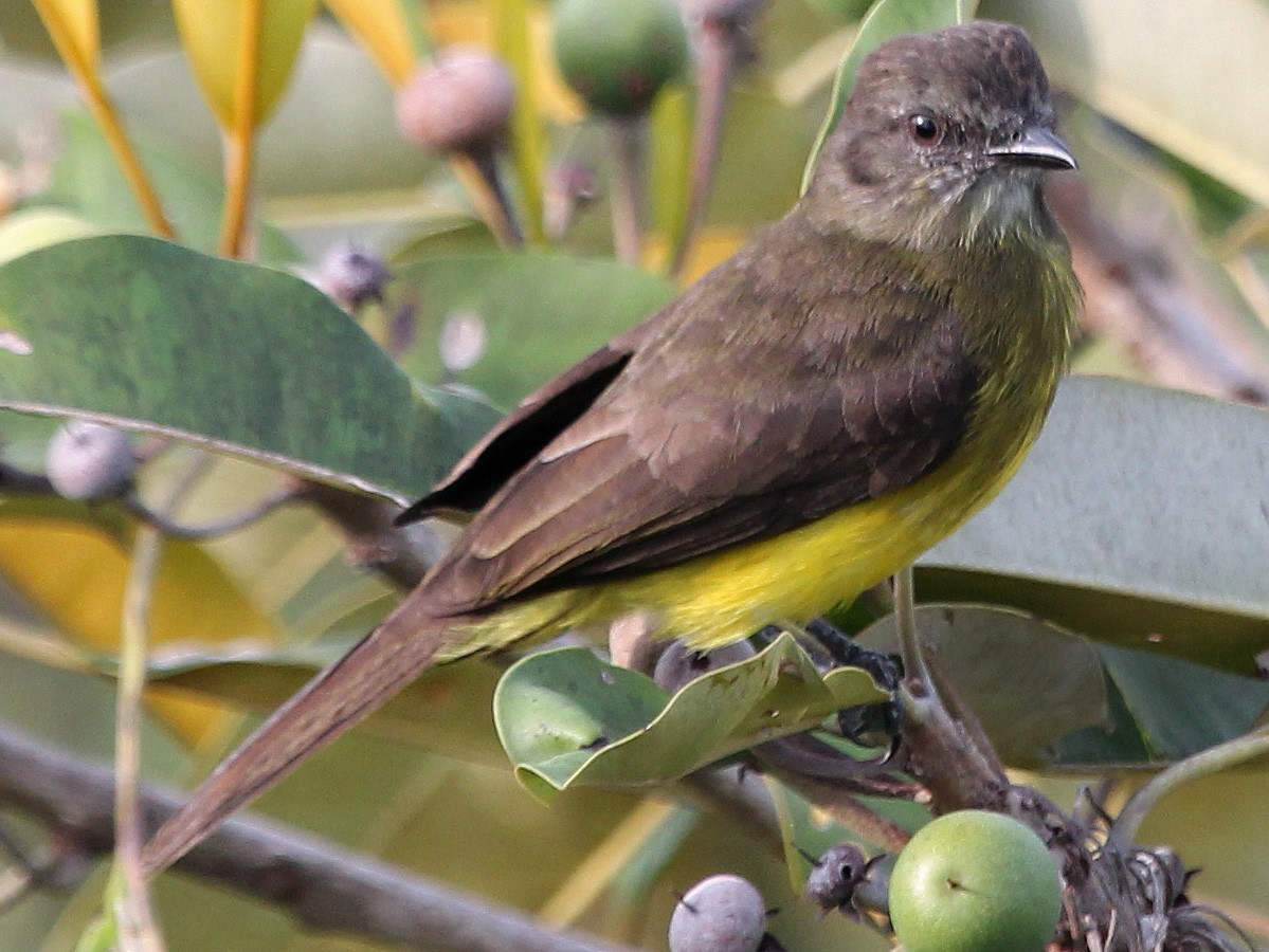 Dusky-chested Flycatcher - Alexander Lees
