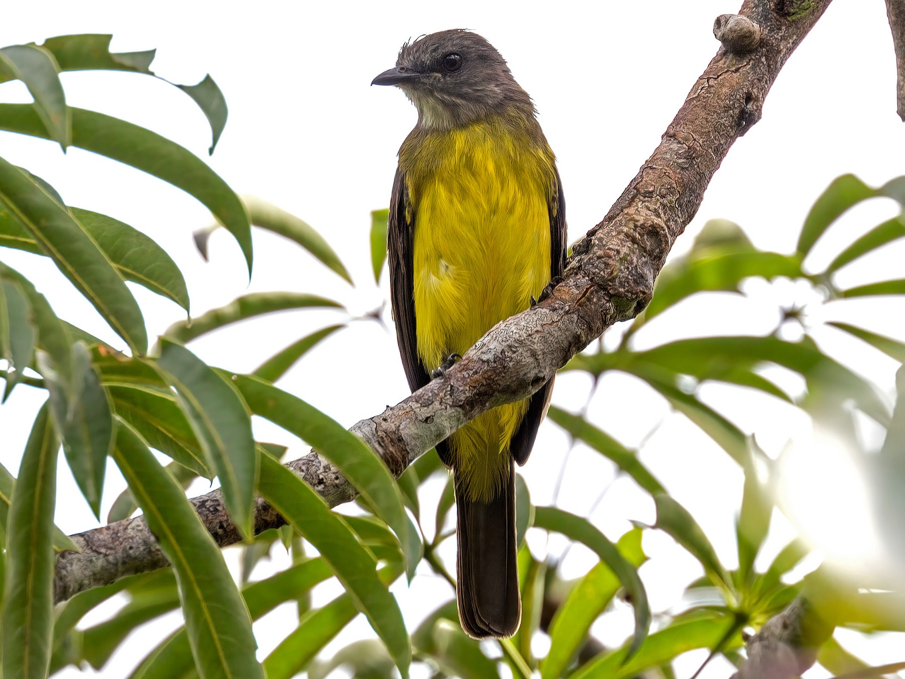 Dusky-chested Flycatcher - Renato Espinosa